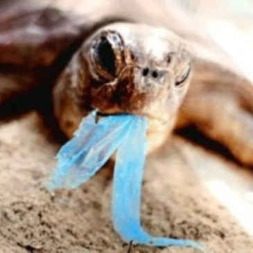 turtle with plastic in mouth